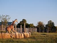 Tanganyika giraffe running at sunset