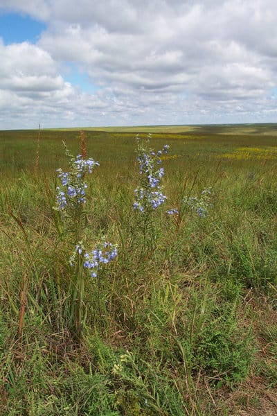 Tallgrass Prairie wildflowers - photo by nps
