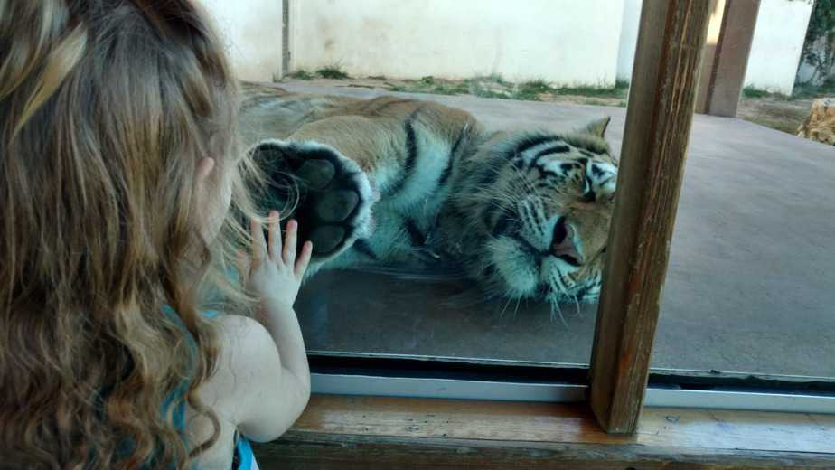 child and tiger both touching glass divider at sedgwick county zoo
