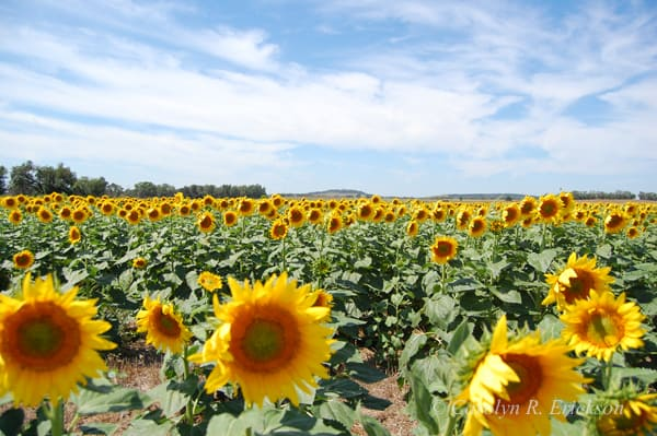Sunflower field in full bloom