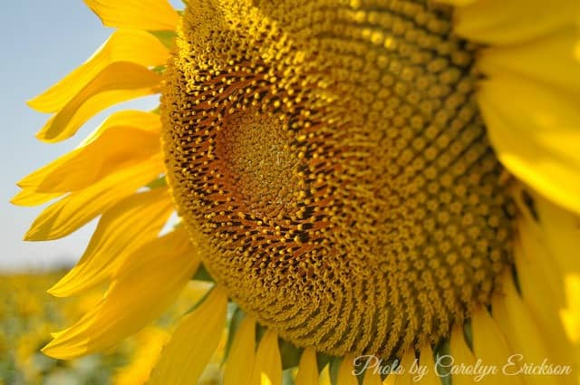 close-up of a single sunflower standing in a Kansas sunflower field